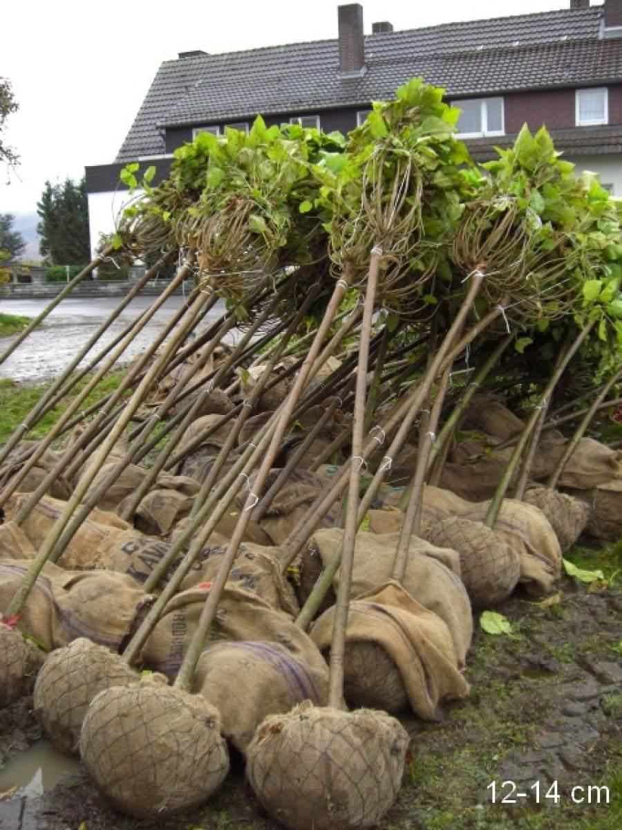 gro er alter kugel trompetenbaum kaufen mr pflanzenvertrieb der spezialist f r den versand. Black Bedroom Furniture Sets. Home Design Ideas