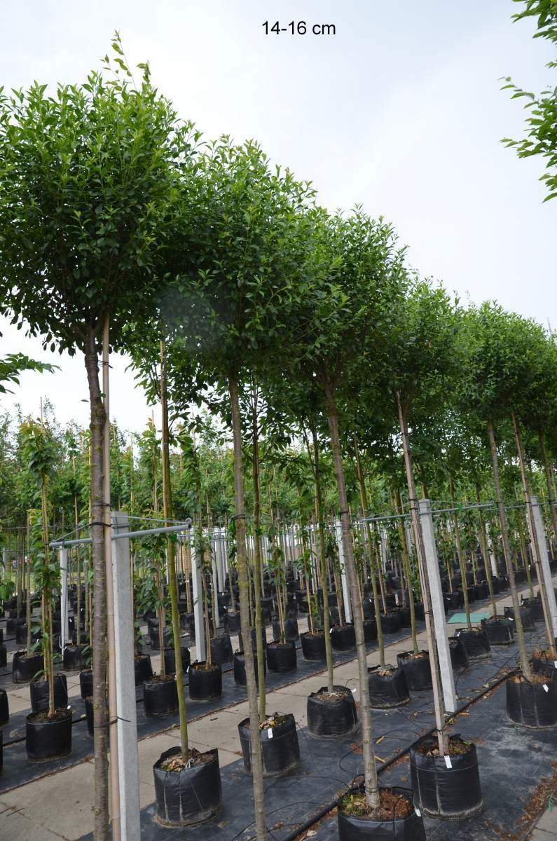 kugelbaum f r kleinen garten kaufen kugelkirsche mr pflanzenvertrieb der spezialist f r den. Black Bedroom Furniture Sets. Home Design Ideas