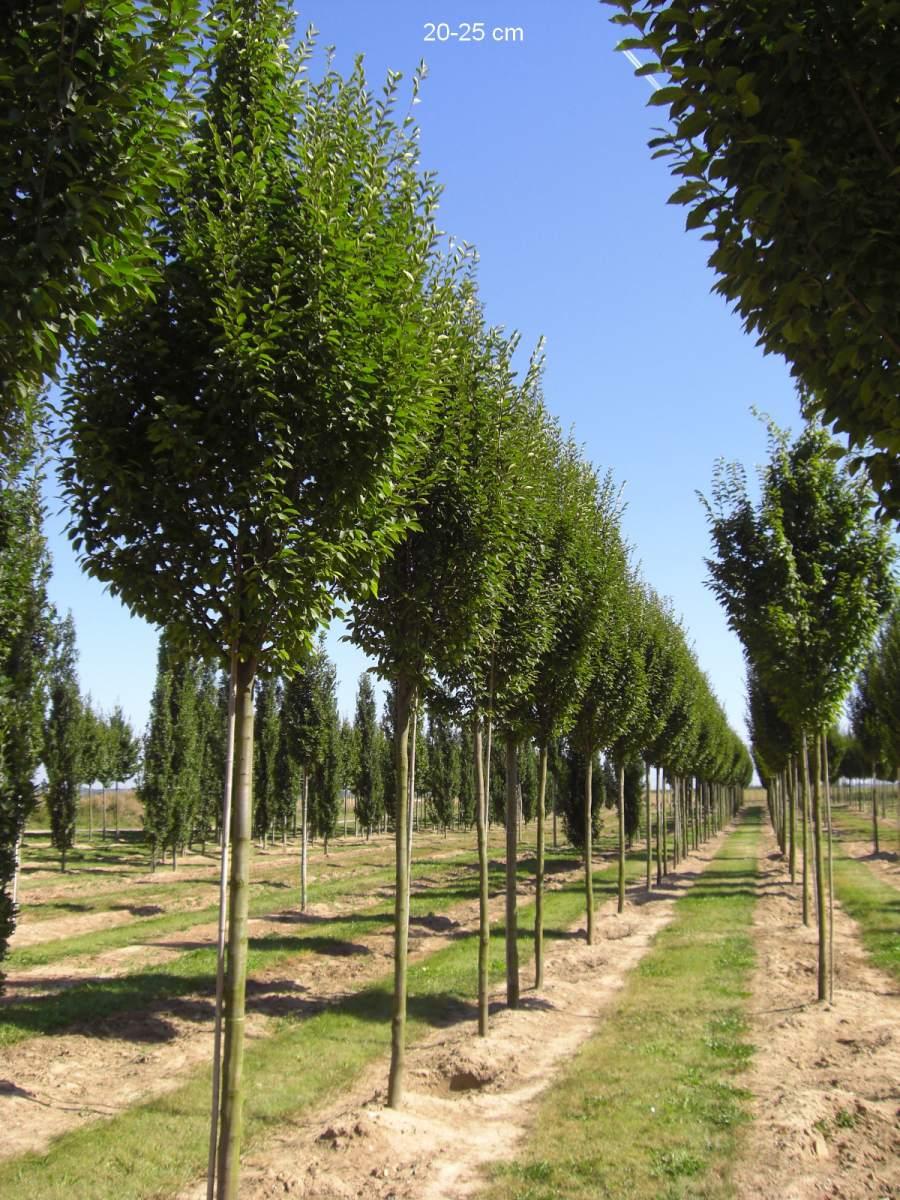 säulen-hainbuche kleinkroniger gartenbaum - mr-pflanzenvertrieb, Hause und Garten