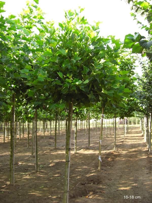 kugelbaum kaufen g nstige lieferung mr pflanzenvertrieb der spezialist f r den versand von. Black Bedroom Furniture Sets. Home Design Ideas