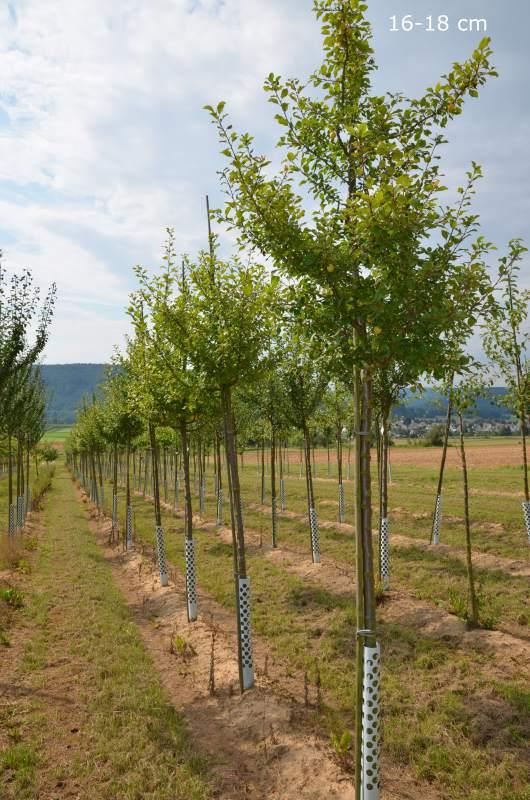mirabellenbaum hochstamm halbstamm kaufen mr pflanzenvertrieb der spezialist f r den versand. Black Bedroom Furniture Sets. Home Design Ideas