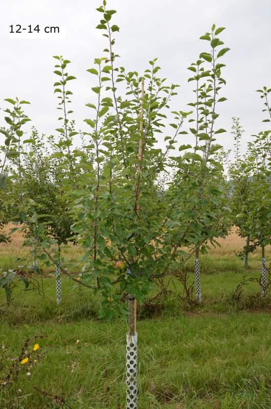 gro er apfelbaum halbstamm hochstamm kaufen seite 2 mr pflanzenvertrieb der spezialist. Black Bedroom Furniture Sets. Home Design Ideas
