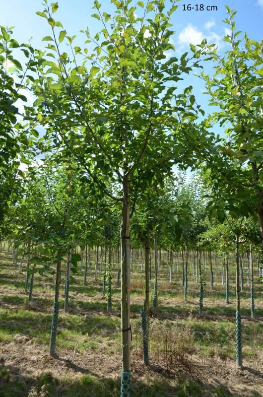 gro er apfelbaum halbstamm hochstamm kaufen mr pflanzenvertrieb der spezialist f r den. Black Bedroom Furniture Sets. Home Design Ideas