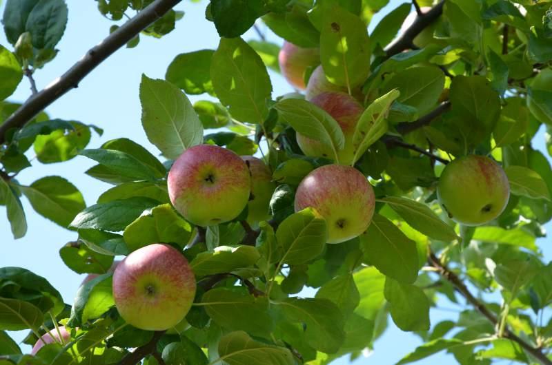 Großen Apfelbaum Kaufen : gro er apfelbaum halbstamm hochstamm kaufen mr ~ Lizthompson.info Haus und Dekorationen