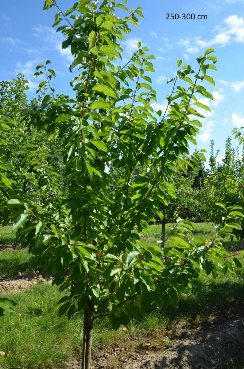 selbstfruchtbaren kirschbaum skeena als bereits gro en. Black Bedroom Furniture Sets. Home Design Ideas