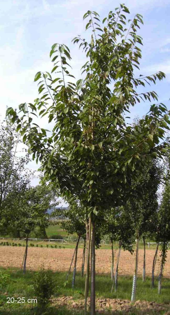 gro er kirschbaum b ttners rote knorpelkirsche gro en baum pflanzen gro er hochstamm verkauf. Black Bedroom Furniture Sets. Home Design Ideas