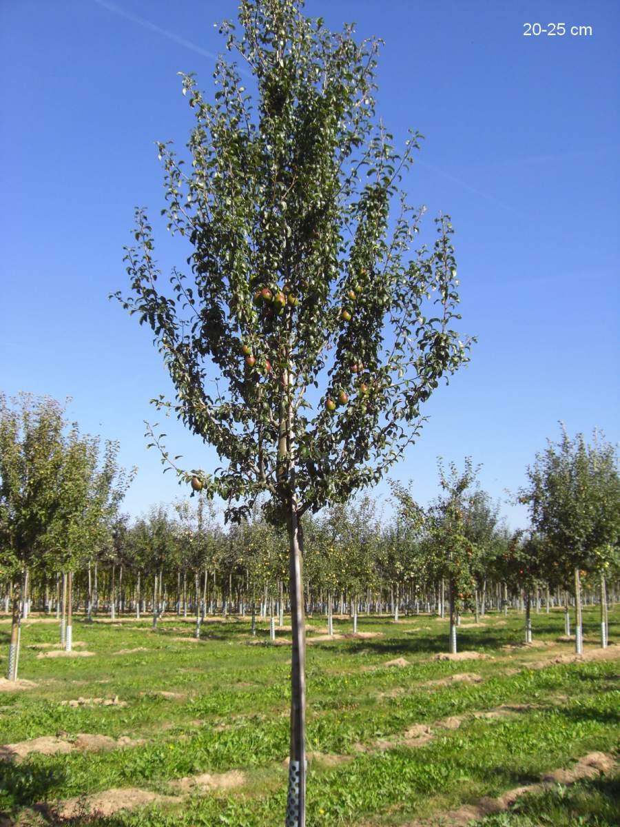gro en birnenbaum mit fr chten und nach hause liefern lassen. Black Bedroom Furniture Sets. Home Design Ideas