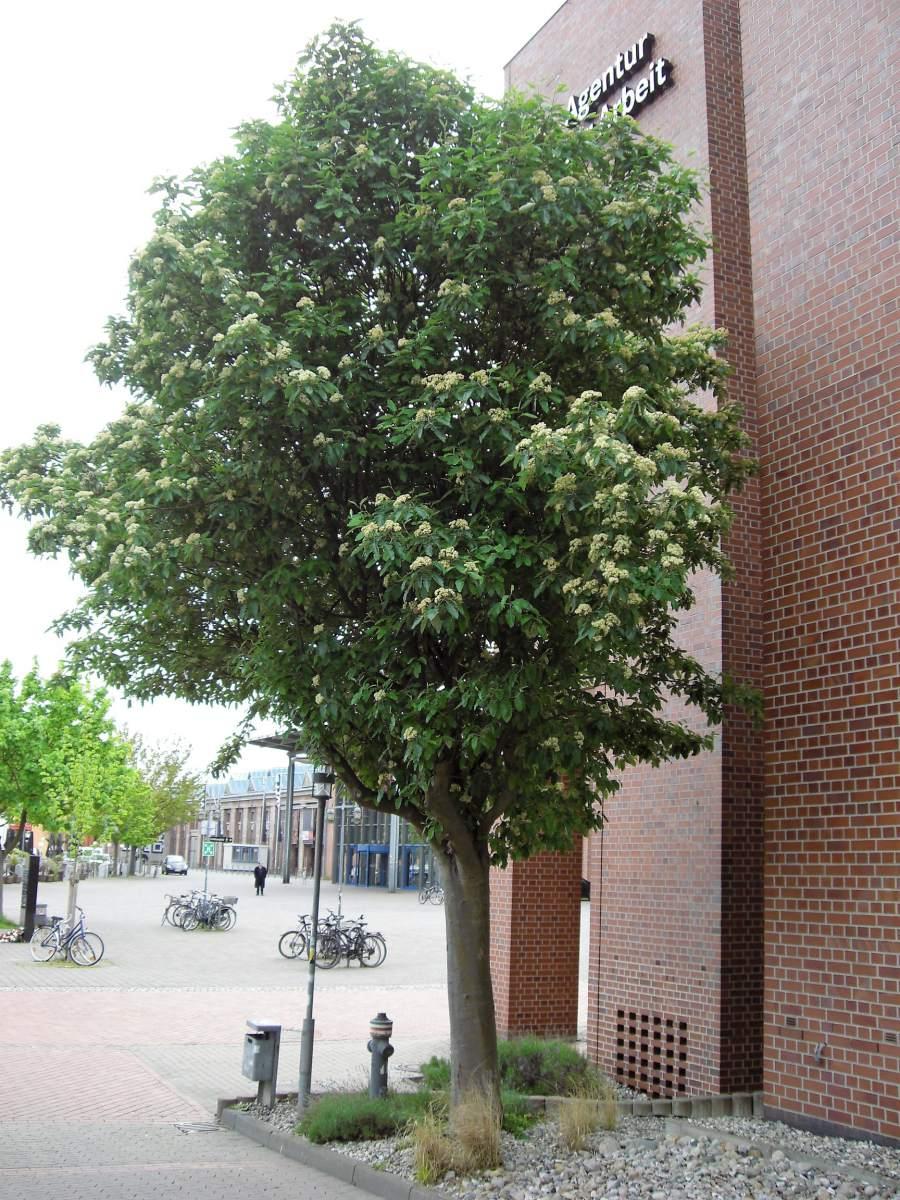 Thüringische Säulen Eberesche 100-125cm Sorbus thuringiaca