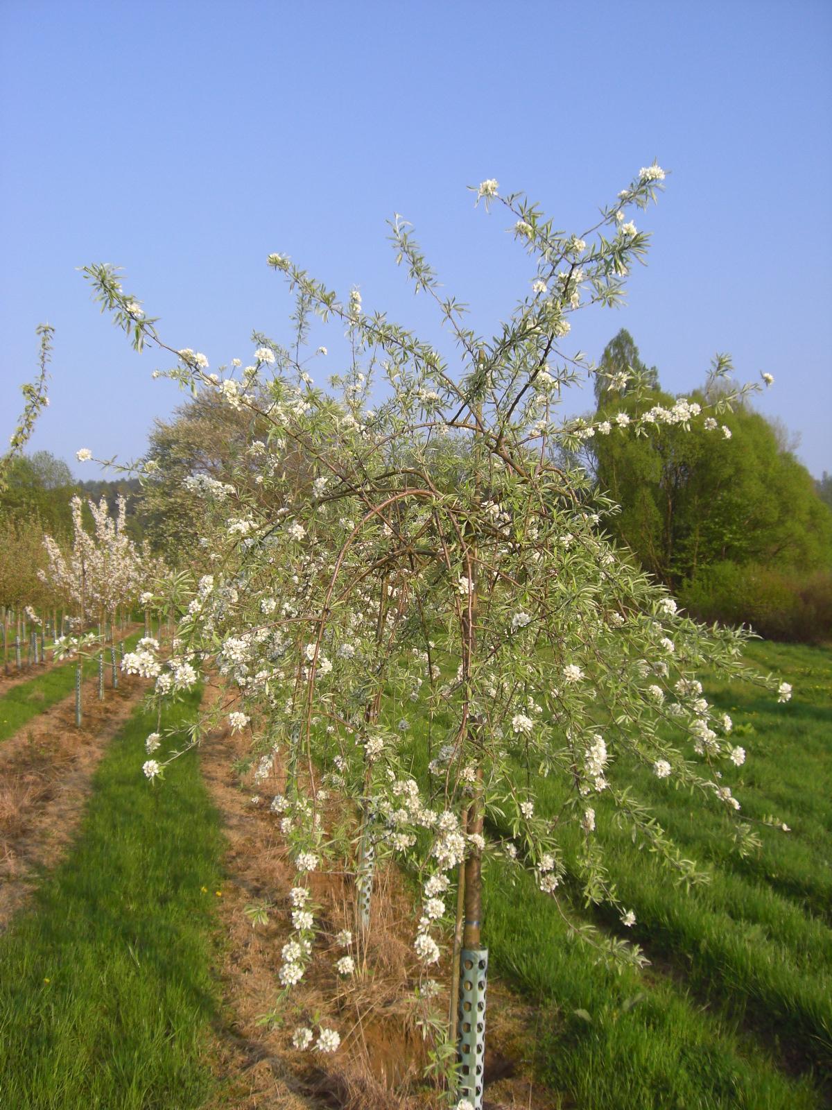 Birne Pyrus salicifolia Pendula Weidenblättrige Hänge