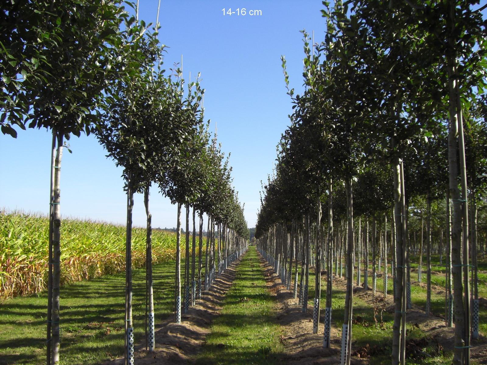 Apfeldorn Baum Als Guter Sichtschutz Kaufen Und Liefern Lassen