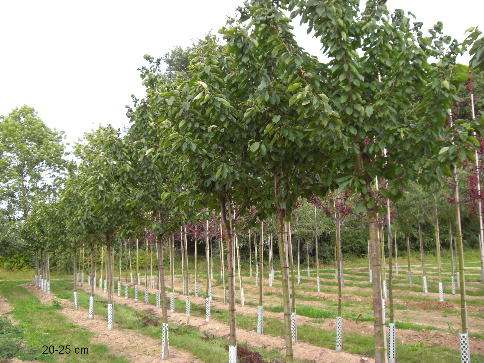 Berühmt Große Prinzessinkirsche kaufen, großer Kirschbaum #CV_73