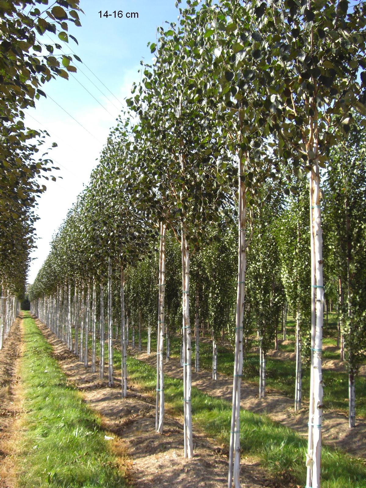 Lust Auf Einen Interessanten Aussergewohnlichen Baum In Ihrem Garten