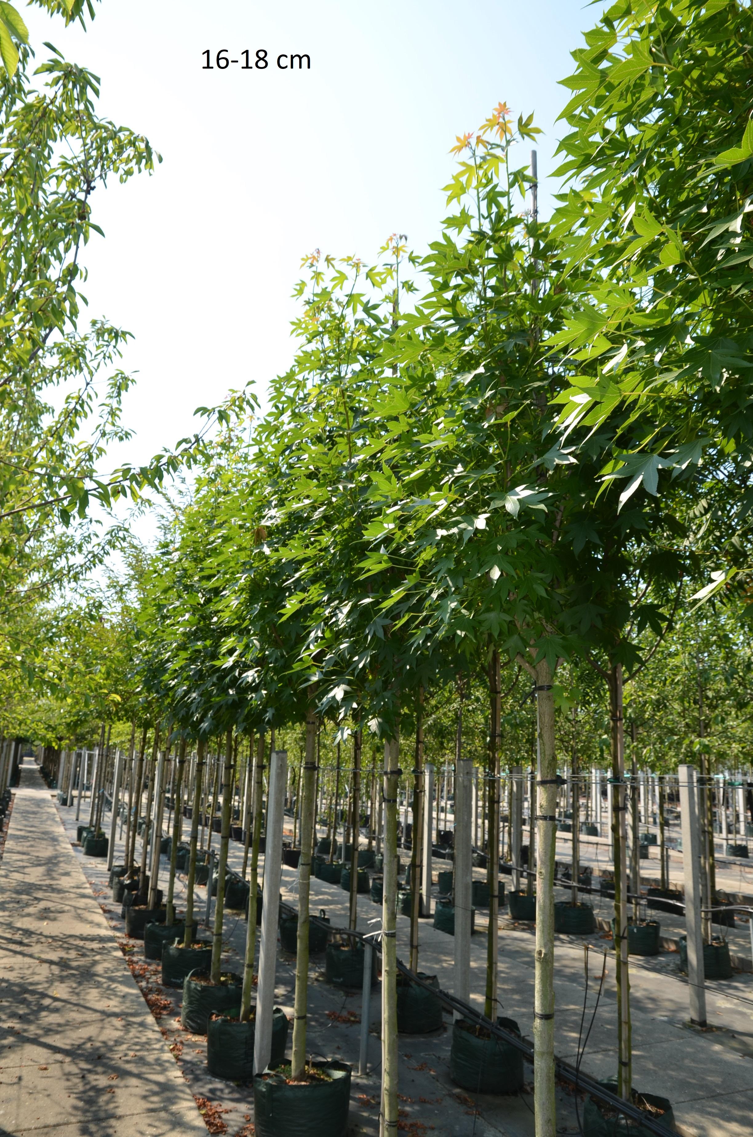 Gemeinsame Sie suchen den Säulen-Amberbaum Slender Silhouette als großen Baum @AC_96