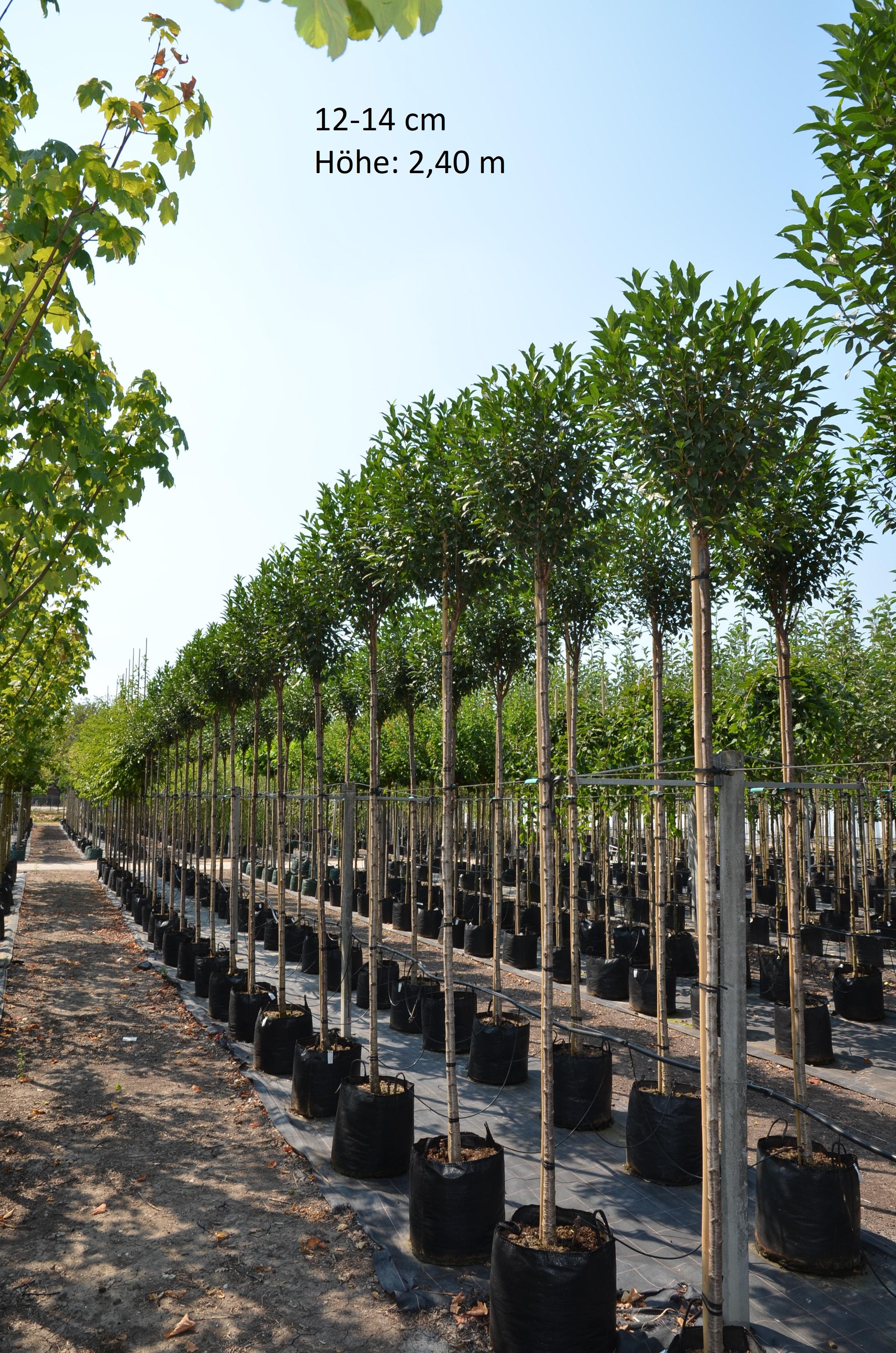 "Kugelkirsche Prunus eminens /""Umbraculifera/"" Steppenkirsche"