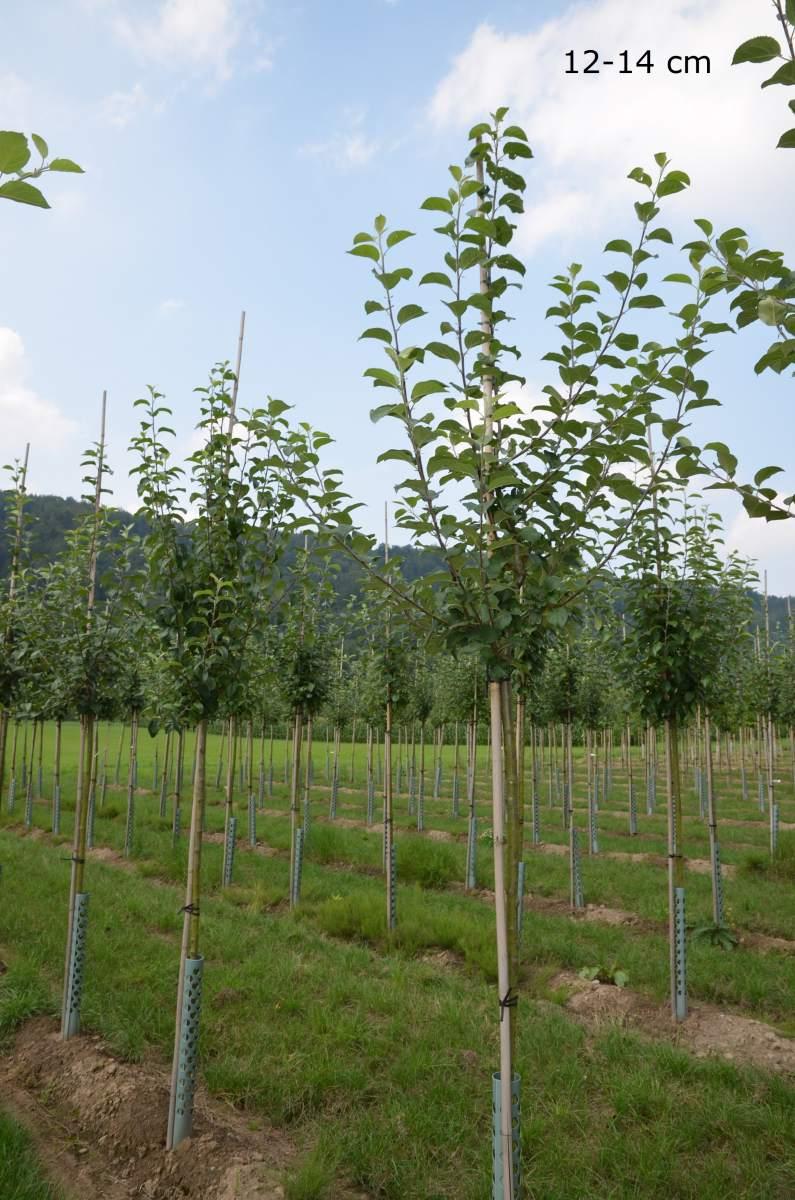 apfelbaum hessische tiefenbl te hochstamm pflanzen. Black Bedroom Furniture Sets. Home Design Ideas