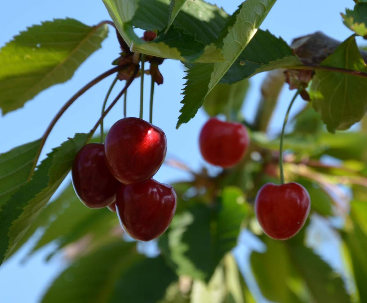 gro fruchtige s kirsche kordia kaufen hochstamm gro en kirschbaum kaufen gro en. Black Bedroom Furniture Sets. Home Design Ideas
